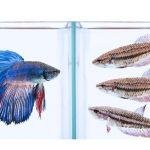 saber se o peixe betta é macho ou fêmea