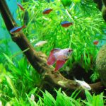 Betta com outros peixes