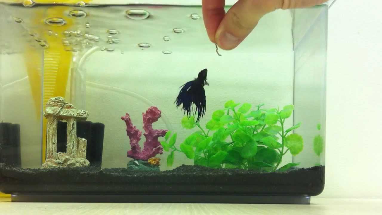 Quanto tempo o Peixe Betta pode ficar sem comer