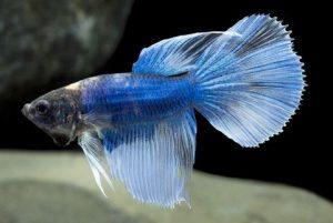 peixe betta super delta tail